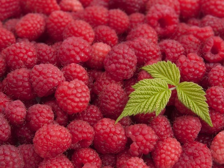 Close up of fresh picked raspberries with a leaf.