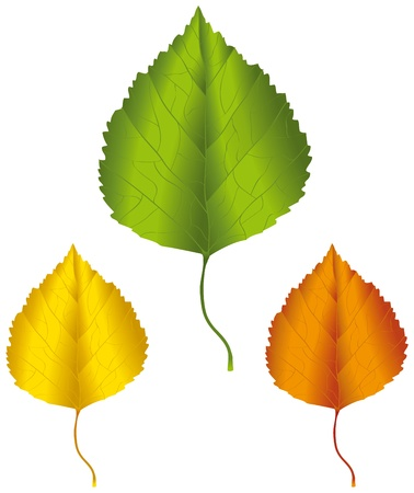 golden color: A birch leaf in green, yellow and orange colors. Illustration
