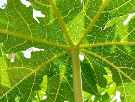 Beautiful clear pattern of papaya leaf Stock Photo