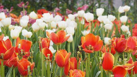 Close up Beige orange tulip after rainy natural field 写真素材