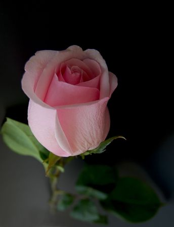 Pink fresh rose on black background with leaves Stock Photo