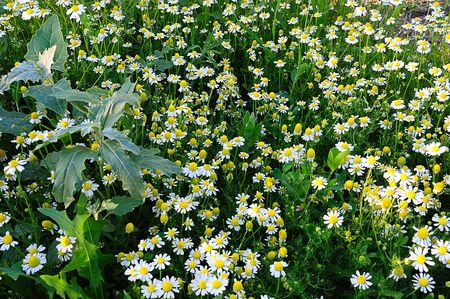 chamomilla: mead of chamomiles (Matricaria chamomilla), fresh grass