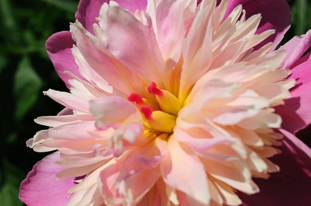 close-up of flower of peony (Paeonia officinalis) Stock Photo - 3087906