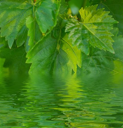 pattern of fresh spring green leaves of grape (vitis, vitaceae) photo