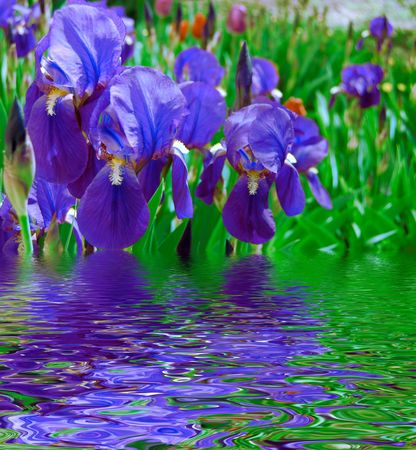 garden blue irises and reflection water photo