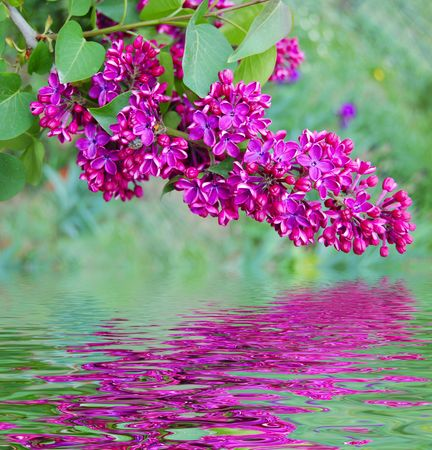 branch of lilac and reflection in water photo