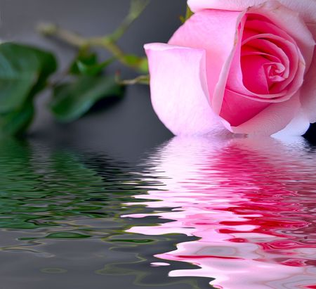 Pink fresh rose in water on black background with leaves photo
