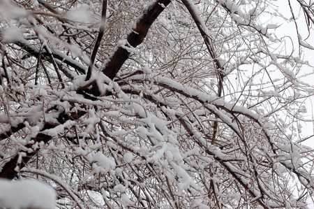 ponderosa pine: tree branches covered with snowfrost in cold tones
