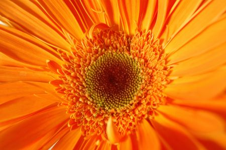 macro of fresh gerbera photo