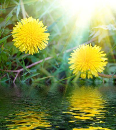 yellow dandelions in fresh green grass and sun rays photo