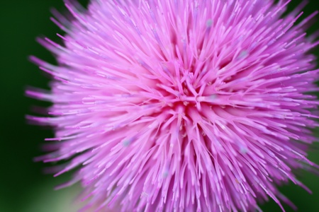 attention grabbing: A very close view of a thistles flower. It makes a wonderfully colorful background or attention grabbing opener. Stock Photo