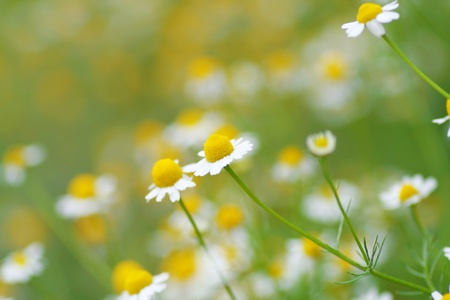 daisys: field of daisys in fresh green grass  Stock Photo