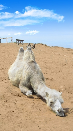 camel in the Sahara desert under blue sky photo