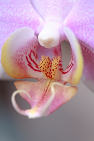 macro of orchid in bloom photo