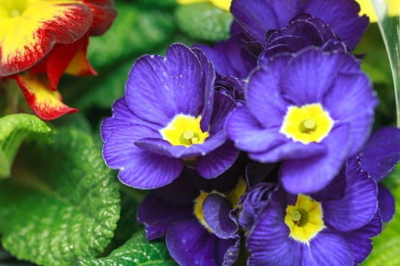 Beautiful Purple Violet Flowers Close-up photo