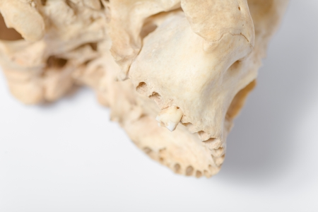 Side view of human skull jaw photo