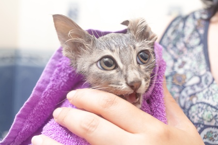 Cat closeup - wet cat in a towel after bath photo