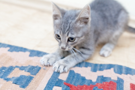 Grey kitten playing and grabbing at the colorful carpet photo