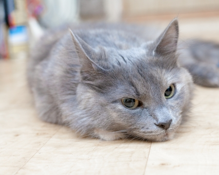 true born: gray striped kitten with grimace indoors closeup Stock Photo