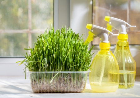two yellow sprayer on the windowsill closeup near fresh freen grass in container photo