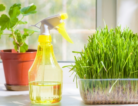 grass in container and yellow sprayer on the windowsill closeup indoors. Plant on the background photo