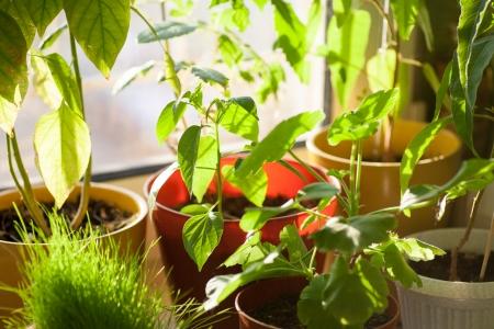 crecimiento planta: Ecolog�a concepto en macetas las plantas verdes en travesa�o de la ventana interior