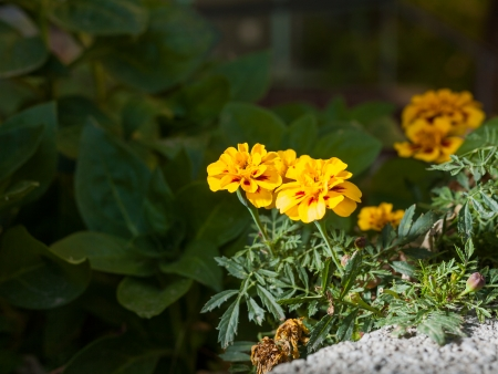 yellow flowers outdoors in autumn on green background photo