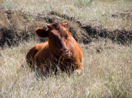 cow on grass desert photo