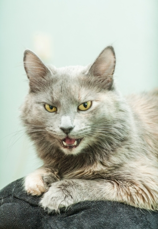 Gray cat indoors with her mouth open photo