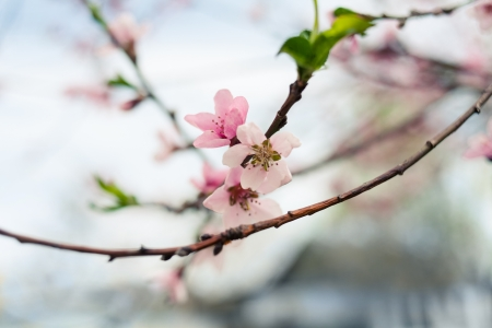 Pretty pink cherry blossom twig Stock Photo - 25116132