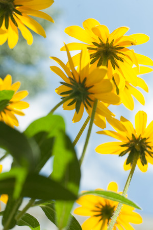 bright eyed: Yellow daisys against sky Stock Photo