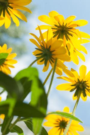 daisys: Yellow daisys against sky Stock Photo