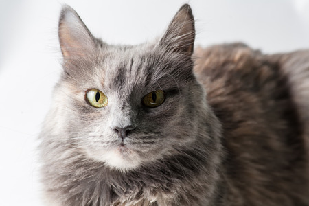 Very serious gray cat looking at camera on white  photo