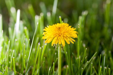 One young yellow dandellion in fresh grass backlit macro shot photo
