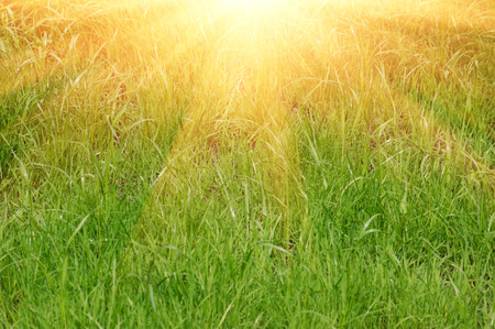 Fresh green grass and sun light natural background. photo