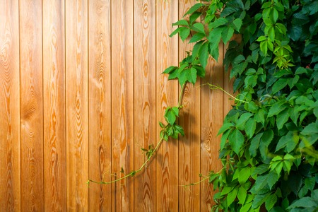 Yellow plank background with green ivy ocer, place for text. photo