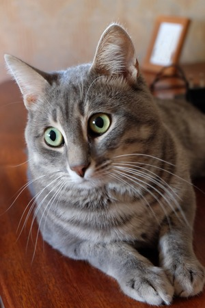 Tabby Cat lies and looks into camera. photo