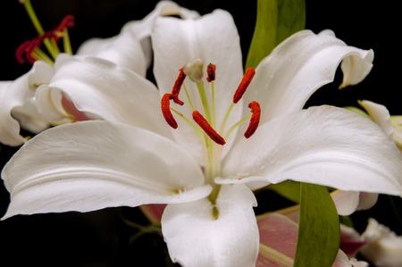 lilia: Big white lilia flower closeup image.
