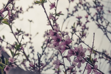 colorized: Cherry flowers in the garden colorized image. Stock Photo