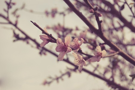 colorized: Cherry blossom, Small flowers covering twigs toned colorized image, copyspace on the sky.