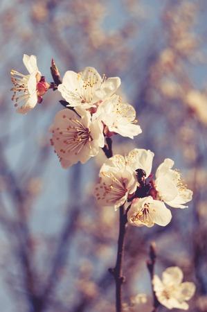 Cherry blossom toned image  photo