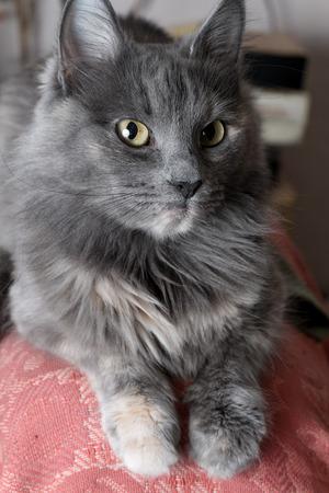 grey cat: Beautiful grey cat indoors