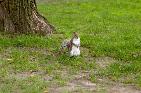 likable: Grey squirrel in the meadow near the tree