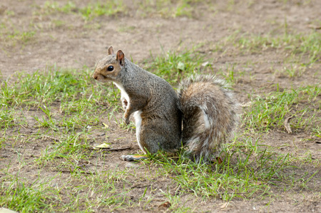 bushy: Grey squirrel in the meadow with a bushy tail up side view. Stock Photo