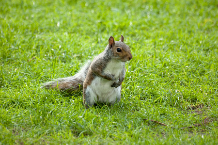 Cute and cuddly squirrel. Grey squirrel in the meadow photo