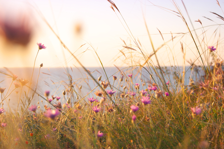 dry grass: Dry grass and violet wildflowers near sea coast