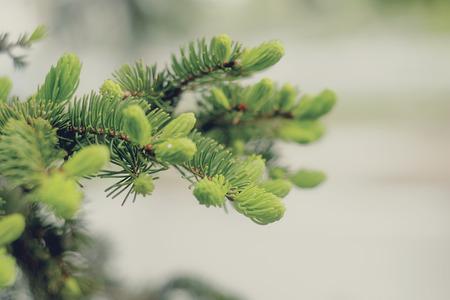 evergreen branch: �rbol de hoja perenne primavera pino rama de �rbol. Foto de archivo