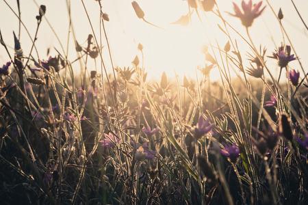 fiori di campo: D'oro incandescente erba secca e fiori di campo. Il campo di selvaggia secca picchi retroilluminato erbaccia con calda luce del sole. colore del filtro Instagram