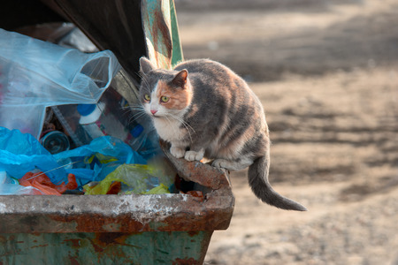 big bin: Homeless cat scavenging food on trash dumpster shot with copyspace