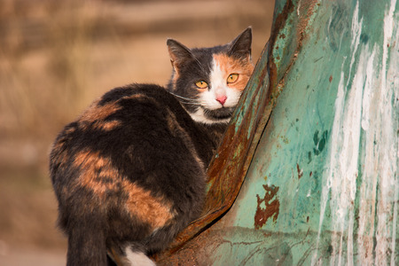 feral: Three color feral cat is sitting on trash dumpster and looking at camera, shot with copyspace